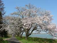 湖山池青島公園の桜・写真