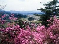 亀井公園のツツジ・写真