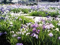 東郷湖羽合臨海公園のハナショウブ・写真
