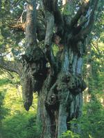 岩倉の乳房杉・写真