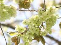三刀屋川河川敷公園の桜