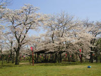 丸子山公園の桜