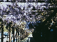 渋川公園のフジ