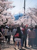がいせん桜・写真