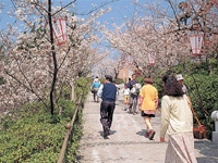 千光寺公園の桜・写真
