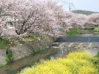 桜土手の桜並木・写真