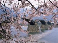 錦帯橋畔のサクラ・写真