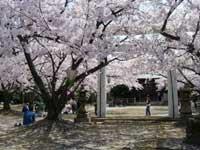 八田山公園の桜・写真
