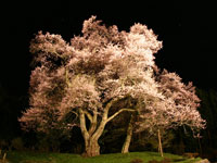 吉良のエドヒガン(桜)・写真