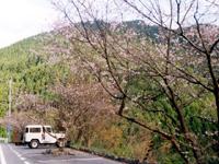 上勝の十月桜・写真