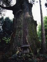 久保の大杉・写真