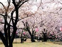 すすきヶ原の桜・写真