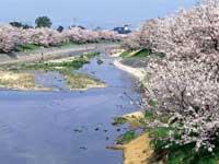 頓田川河川敷の桜・写真