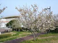 吉川町桜づつみ公園・写真