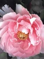 筥崎宮のボタン・写真