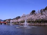 甘木公園の桜