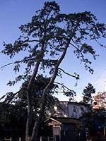 二木の松・写真