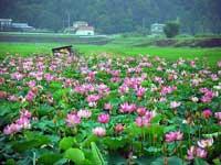 伊豆沼のハス・写真