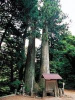 小川内の杉・写真
