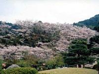 西渓公園の桜・写真