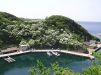 鰐浦のヒトツバタゴ・写真