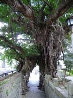 あこう樹・写真