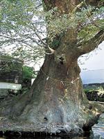 竹の熊の大ケヤキ・写真
