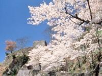 岡城跡のサクラ