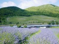 町田バーネット牧場のラベンダー・写真