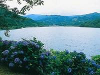 大隅湖右岸のアジサイ・写真