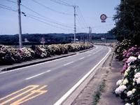 田島のアジサイロード・写真