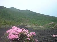 諏訪之瀬島のマルバサツキ・写真