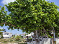 国吉家のガジュマル巨木