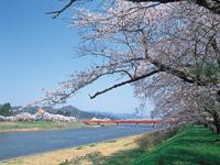 桧木内川堤のソメイヨシノ・写真