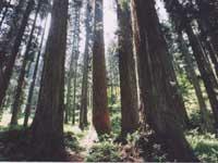 大美輪の大杉・写真