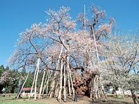 置賜さくら回廊の桜・写真