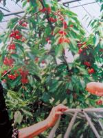 元祖天童観光果樹園・写真