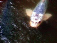 善寳寺の人面魚・写真