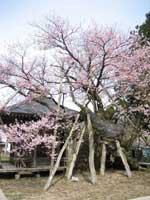 薬師桜・写真