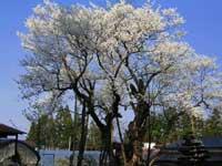 草岡の大明神桜・写真