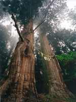 諏訪神社の翁スギ媼スギ・写真