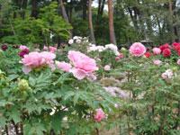 須賀川牡丹園・写真
