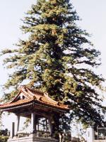 永泉寺の広葉杉