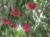 みちのく観光果樹園・写真