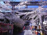 信夫山公園の桜・写真