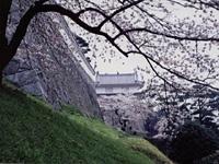 霞ヶ城公園の桜・写真