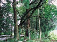 桜杉・写真