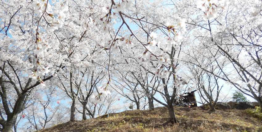 苗木櫻花公園(中津川市)