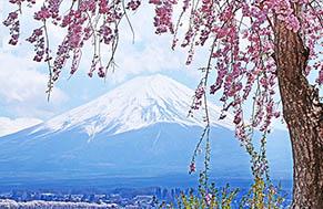 Fuji Kawaguchiko Sakura