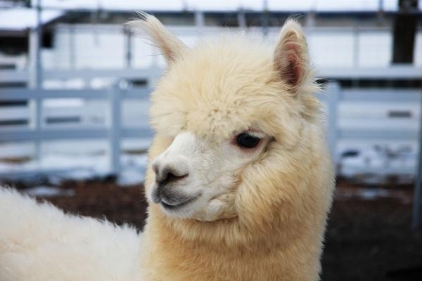 Nasu Alpaca Farm
